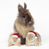 Lion Head Rabbit with Young Wearing Christmas Hat Photographic Print