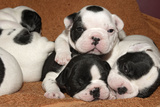 French Bulldog Puppies 10 Days Old Photographic Print