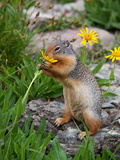 Columbian Ground Squirrel Eating Flower Photographic Print