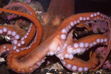 North Pacific Giant Octopus Showing Suckers Fotoprint