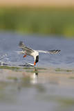 Common Tern in Flight Photographic Print
