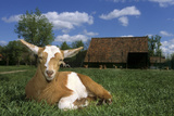 Domestic Goat Photographic Print