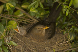 Blackbird Female on Nest with Nestlings Photographic Print