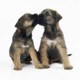 Border Terrier Dog X2 Puppies Photographic Print