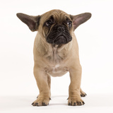 French Bulldog in Studio Looking Sad Photographic Print