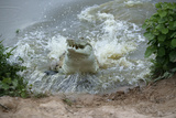 Orinoco Crocodile Female Jumping Out of Water Photographic Print