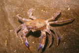 Swimming Crab Photographic Print