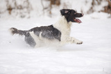 English Springer Spaniel Running Through the Snow Photographic Print