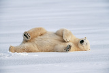 Polar Bear Lying on Side Photographic Print