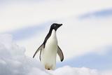 Adelie Penguin on Iceberg Photographic Print