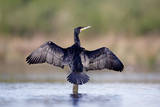 Great Cormorant Male in Breeding Colours Showing Photographie