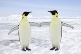 Emperor Penguin Pair Holding Hands Photographic Print
