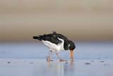 Oystercatcher Probing into the Sand for a Worm Photographie