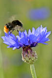 Red-Tailed Bumblebee and Cornflower Photographic Print