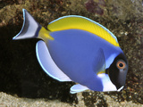 Powder Blue Surgeonfish (Powder Blue Tang) Tropical Reefs Photographic Print