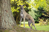 Greyhound Standing on Tree Root Photographic Print