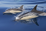 Common Dolphin Two Swimming in the Strait of Gibraltar Photographic Print