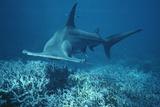 Great Hammerhead Shark Swimming Fotografisk tryk