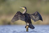 Great Cormorant Female with Wings Outstretched to Dry Reproduction photographique