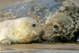 Grey Seal Mother and Newborn Pup Taking Stock Photographic Print