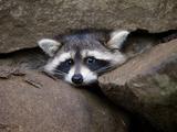 Raccoon Inbetween Rocks Photographic Print
