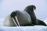 Walrus Pair, Female with Short Tusks Photographic Print