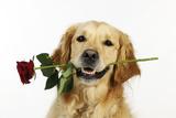 Golden Retriever Holding Rose (Head Shot) Photographic Print