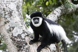 Western Black and White Colobus Monkey, King Colobus Monkey Photographic Print