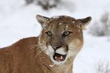 Puma in Snow Fotografie-Druck