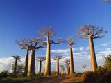 Boab Tree Fotografisk tryk