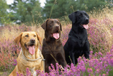 Yellow Chocolate and Black Labrador Dogs Photographic Print