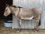 Zedonk' Zebra-Donkey Hybrid Photographic Print