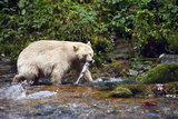 Spirit Bear Hunting for Sockeye Salmon Photographic Print