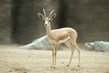 Saharan Dorcas Gazelle Female Photographic Print