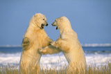 Polar Bear Two on Hind Legs, Fighting Photographic Print