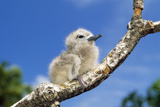 Fairy Tern Chick on Branch Photographic Print
