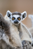 Ring-Tailed Lemur Baby Photographic Print