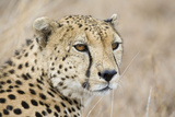 Cheetah Adult Male Photographic Print