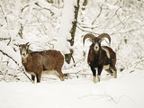 Mouflon Ram and Sheep in Snow Photographic Print