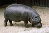 Pygmy Hippopotamus Photographic Print