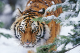 Siberian Amur Tiger Close-Up of Face Photographic Print