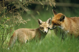 Red Fox Adult and Cub Stand in Grass Photographic Print