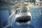 Great White Pointer Shark Fotografisk tryk