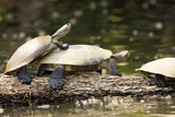 Yellow-Spotted Amazon River Turtle Photographic Print