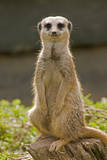 Meerkat, Suricate Photographic Print