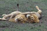 African Lion Brothers Resting Photographic Print