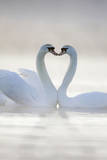 Mute Swans Pair in Courtship Behaviour Photographic Print
