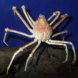 Giant Japanese Spider Crab Photographic Print