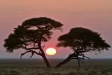 Acacia at Sunrise Magnicifent Specimen of Umbrella Fotodruck
