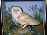 Taxidermy Barn Owl Photographic Print